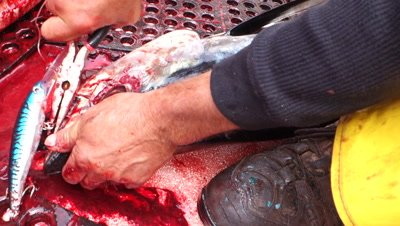 Graphic video of a sport fisherman removing the lure from the face of an albacore tunafish