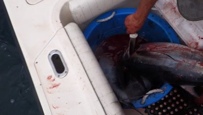 Sport fisherman kills and bleeds an albacore tunafish into a bucket