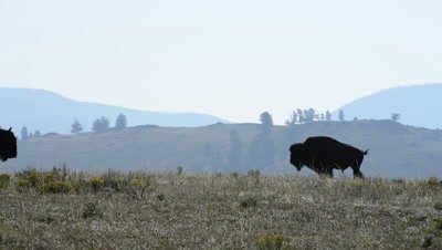 American bison walks across the screen loopable during the Fall rut in Yellowstone National Park