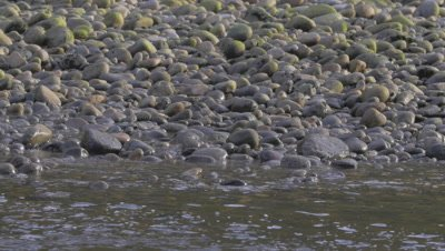 Grizzly bears searching for salmon walk along river through screen looping shot 4K Great Bear Rainforest