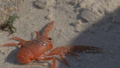 Tuna Crab