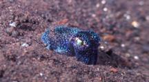 Bobtail squid, Sepiolida sp.
