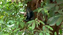 Blue Monkey Eats While In A Tree In The Serengeti Plains