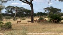 Impala Ram With His Harem And Fawns Graze