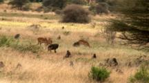 Impala Ewes And An Olive Baboon Troop Rest And Roam The Plains