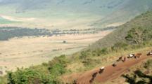 Masai (Maasai) Warriors Lead Their Cattle Up The Mountain For Water