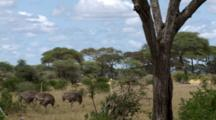 Female Ostriches Walk Through The Scrubland With Acacia Trees And Zebras In The Background