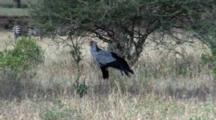 Secretarybird Or Secretary Bird Hides Under A Bush With Zebras In The Background