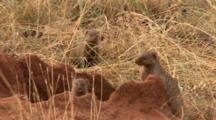 Mongooses Eat Termites From A Termite Mound