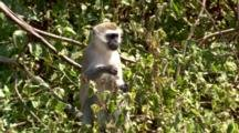 A Vervet Monkey Sits In A Bush Eating Berries
