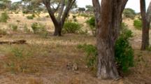 A Vervet Monkeys Sit On The Ground Under A Tree