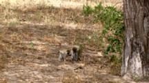 A Vervet Monkeys Sit On The Ground Under A Tree Picking And Eating