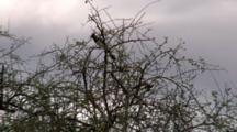 White-Bellied Go-Away-Bird Sit In A Bush And Fly Away