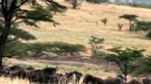 Wildebeest Act Nervous Around Lions Lying On A Rock