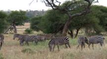 Plains Zebras Travel And Graze And One Zebra Pushes Another