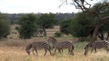 Plains Zebras Travel And Graze.