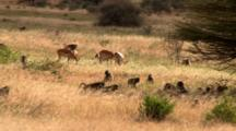 Olive Baboon Troop Rest And Impalas Graze In High Blowing Grass