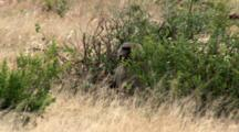 An Olive Baboon Hides In The Bushes While The Troop Moves On.