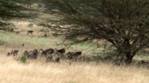 An Olive Baboon Troop Starts To Move On While Babies Jump Around In The High Grass