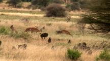 An Olive Baboon Troop Grazes Along With Impalas