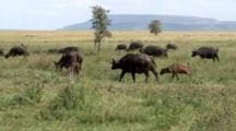 Cape Buffalo Herd With Calves Graze In The Grasslands