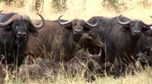 Cape Buffalo Herd Protects Calves With A Zoom Out