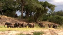 Elephant Herd Digs For Water While A Male Observes For Danger On A Hill