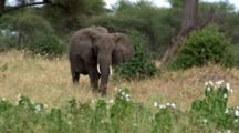 Elephant Eats And Lumbers Towards The Camera