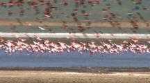 Pink Lesser Flamingos Gather, Fly Off And Settle Down In Salt Water