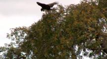 Martial Eagle Holds Onto Its Prey In The Tree Top