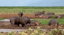Hippopotamus Gets Comfortable In The Mud With Egyptian Geese And A Wildebeest