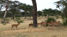 A Male Impala Watches Over His Harem