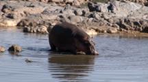 A Hippopotamus Walks In A Hippo Pond