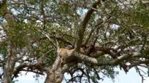 A Leopard  Sleeping In A Tree Spots A Lion Nearby.