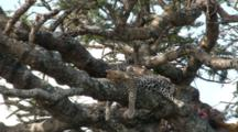 A Leopard  Goes To Sleep After Eating Part Of His Kill Visible In The Tree.