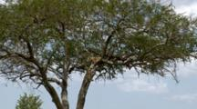 A Leopard  In A Tree Sees A Lion Enter His Territory