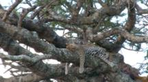 Zoom In On A Leopard  In A Tree Sleeping After Eating Part Of His Kill Visible In The Tree
