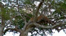 A Leopard  In A Tree Gets Ready To Pounce On A Lion Entering His Territory