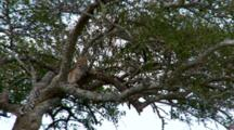 A Leopard  In A Tree Watches A Lion Entering His Territory And Looks Around
