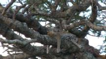 Zoom In On A Leopard In A Tree Sleeping After Eating His Kill Which Is On A Limb Below