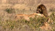 A Lioness Waits To Eat Her Kill Until The Lion Is Finished. She Gets Angry When He Shows Affection While She Is Eating.