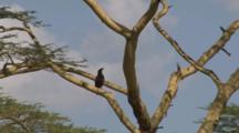 Long-Crested Eagle On The Branch Of A Yellow Acacia Tree With Zoom Out Of Surroundings