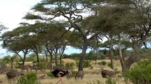 Male And Female Ostriches Stroll Past Zebras.