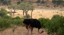 A Male And Female Ostrich Look At The Camera
