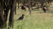Southern Ground-Hornbill Male And Wildebeest In Swaying Grass