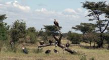 Several Types Of Vultures And Storks Standing By And On A Dead Tree Limb