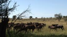 Wildebeest Run Around Excited