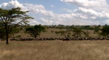 Wildebeest Line Up For The Migration With Excited Males And A Zoom Out.