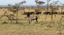 An Infant Plains Zebra Nurses From His Mother Until He Tugs To Hard And She Walks Away With Him Following