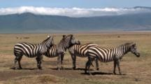 Plains Zebras Look Out For Danger In All Directions While Resting